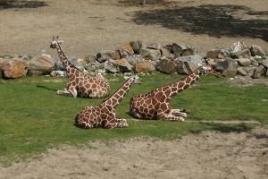 Beekse Bergen - Giraffen
